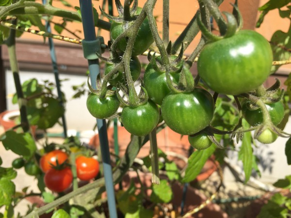 早くもミニトマトが鈴なりですわ。