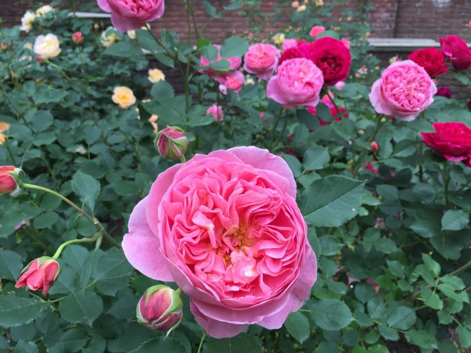 匂うように咲きたい、なんちて。