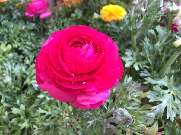 春の花、ラナンキュラス…大輪です。