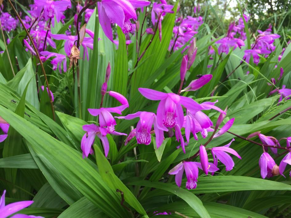 庭に群生している紫蘭。この時期の晴れにも雨にも美しい。