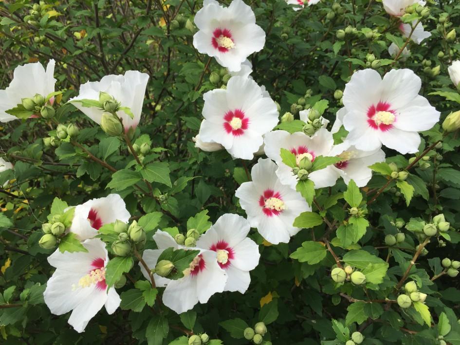 ムクゲが咲くと、嗚呼、夏が来たんだなとしみじみ思う。