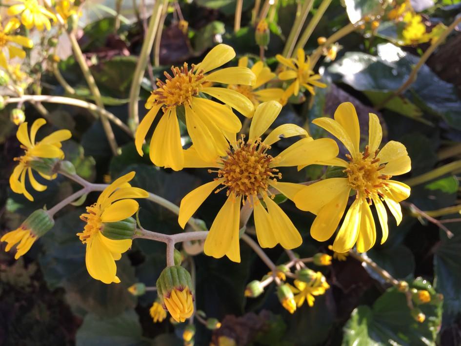 秋冬を彩るツワブキの花。 葉っぱは薬用にも食用にもなるんですって。
