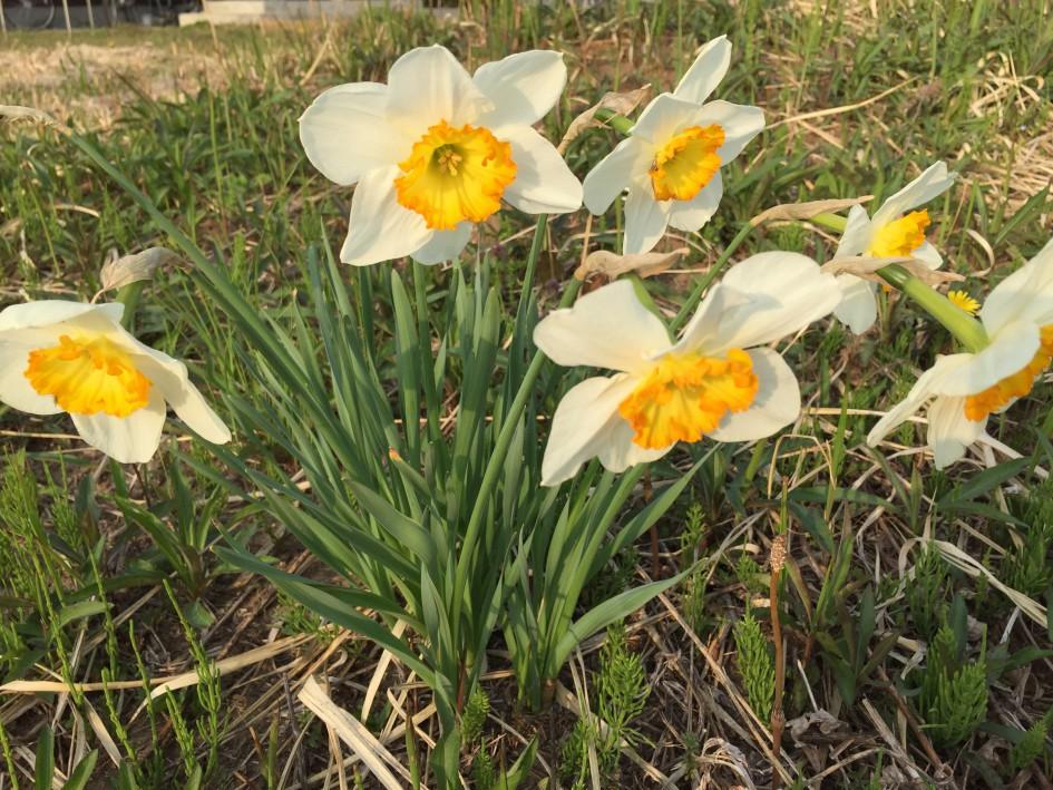 春を告げる水仙。 庭の片隅に咲いた可憐な野生の花。 毒があるとは思えない〜。